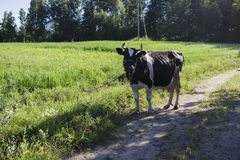 Checkered cow on a meadow road. Cow in a farm pastures in summer season Stock Images