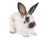 Checkered Giant rabbit Royalty Free Stock Photography