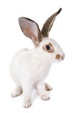 Checkered Giant rabbit Royalty Free Stock Images