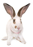 Checkered Giant rabbit Stock Images
