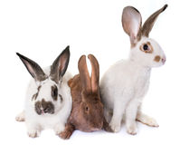 Checkered Giant rabbits Stock Images