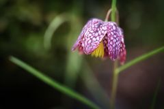 Checkered lily, shot with shallow depth of field Royalty Free Stock Photo