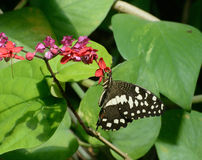 Checkered Lime Swallowtail Butterfly Stock Photography