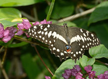 Checkered Lime Swallowtail Butterfly Stock Photo