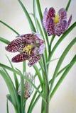 checkered meleagris fritillaria Стоковые Фотографии RF