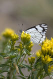 Checkered White Butterfly Stock Photography