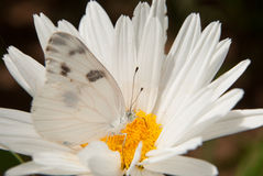 Checkered White Butterfly Stock Photo