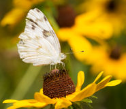 Checkered White butterfly Royalty Free Stock Photography