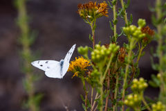 Checkered White Butterfly at Laguna Coast Wilderness Park. Laguna Coast Wilderness Park is a 7,000-acre (2,800 ha) wilderness area in the San Joaquin Hills stock image