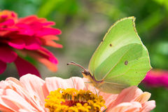 Checkered White Butterfly on a pink Zinnia Stock Photo