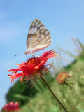 Checkered White Butterfly Royalty Free Stock Image