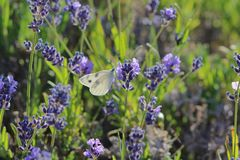 Checkered White Pontia protodice butterfly on a lavender sage flower bush on a hot summer day new mexico albuquerque. Checkered White Pontia protodice butterfly Stock Images