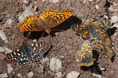 Checkerspot, Fritillary and Field Crescent Butterflies Stock Photos