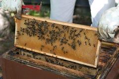 Checkes dell'apicoltore i suoi alveari Immagini Stock