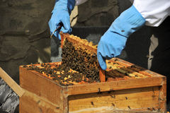 Checking on bee colony Stock Photos