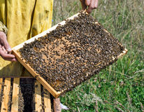 Checking the bees - frame contains sealed cells for larvae/pupae Royalty Free Stock Image