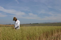 Checking the crop. Farmer Rancher looking at his crop and checking to see if its ready to harvest stock photography