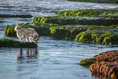 Checking for Fish at Low Tide in California. This dog was playing at low tide, checking for fish in the tide pools royalty free stock image