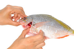 Checking The Gill Of A Fish. Checking The Gill Of A Yellow Tail Fish Stock Photography