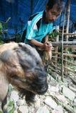 Checking goat health Stock Photos