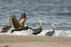 Checking out the beach. Brown Pelican stock image