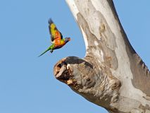 Checking out the nest. Rainbow lorikeet hovering above a potential nest Royalty Free Stock Image