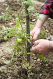 Checking plants of tomatoes Stock Image