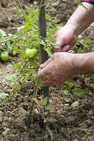 Checking plants of tomatoes Royalty Free Stock Images