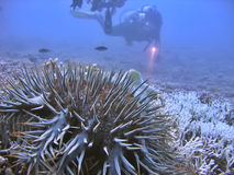 Checking the Reef. Focus on the Crown-of-Thorns Starfish with a hint of scuba diver in the background Stock Images