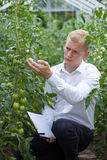 Checking tomatoes condition Royalty Free Stock Photo