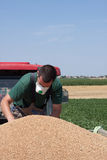 Checking Trailer Full of Wheat. Young farmer check if his trailer is ok after being filled with freshly harvested grains of wheat Stock Image