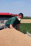 Checking Unloaded Wheat. Young farmer check freshly harvested wheat grains Royalty Free Stock Photo