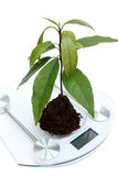Checkup of avocado young plant. Royalty Free Stock Photos