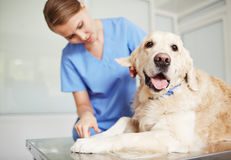 Checkup in vet clinics Stock Image