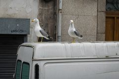 Checky Seagulls on top of a transporter on the streets of Porto, Portogual stock image