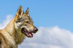 Checo eslovaco Wolf Dog Foto de archivo libre de regalías
