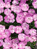 Dianthus Little Gem. Overhead view of a profusion of the small, doubled, rose-colored flowers of Dianthus Little Gem in bloom backed by grey-green foliage Royalty Free Stock Image