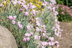 Cheddar Pink flowers Stock Image