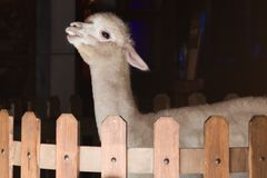 Cheecky beige alpaca. A cheeky, beige alpaca in an indoor wood fence enclosure Stock Images