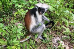 A Cheecky Colobus Monkey Stock Images