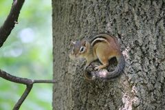 A Cheek Full of Nuts. A young chipmunk took off down a dirt path, its cheeks stuffed with the nuts it had just taken from the ground. It runs up a tree in a stock photography