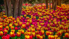 Cheek wood tulips Royalty Free Stock Image