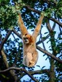 cheeked белизна gibbon северная Стоковые Фотографии RF