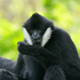 cheeked белизна gibbon Стоковые Изображения RF