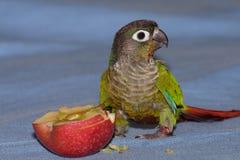 cheeked зеленый цвет conure Стоковая Фотография RF