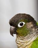 cheeked зеленый цвет conure Стоковое фото RF
