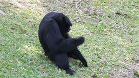 Cheeked blanco Gibbon o Lar Gibbon en la tierra, sentándose cerca de la charca, en HD almacen de metraje de vídeo