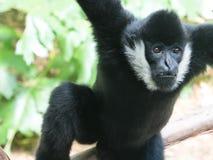 cheeked белизна gibbon стоковая фотография