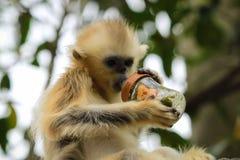 Cheeked Gibbon des Babys Weiß Stockfoto