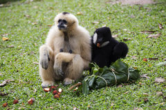 Cheeked Gibbon or Lar Gibbon sitting Royalty Free Stock Photos